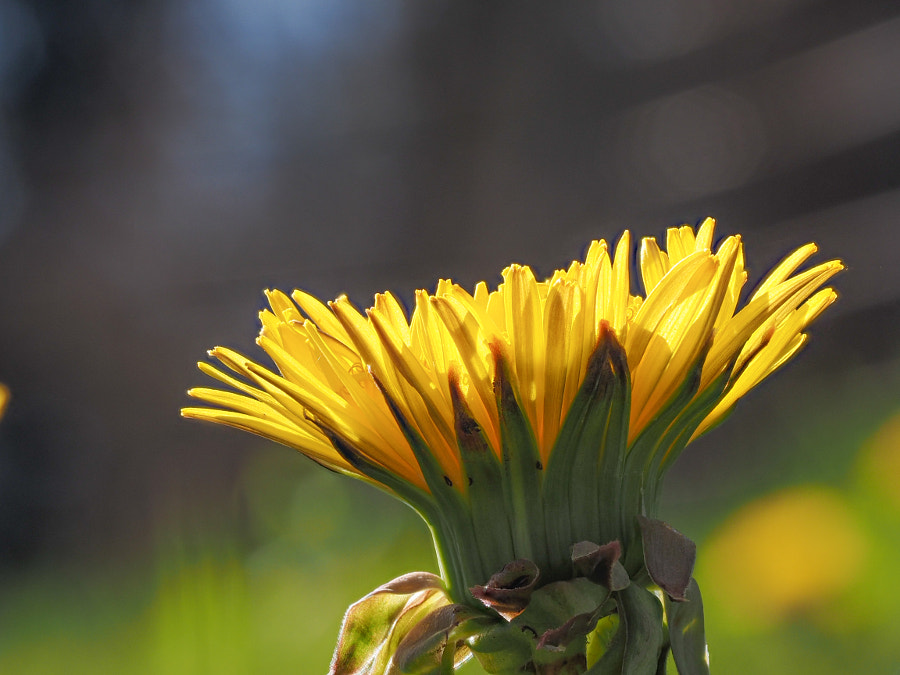 Taraxacum officinale by John Poltrack on 500px.com