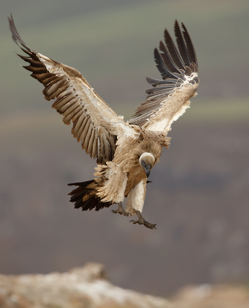 Photograph Cape Vulture landing by Ettienne Van Niekerk on 500px