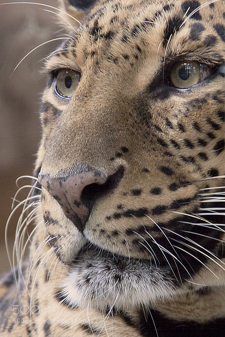 Photograph Captive leopard by Craig Morrison on 500px