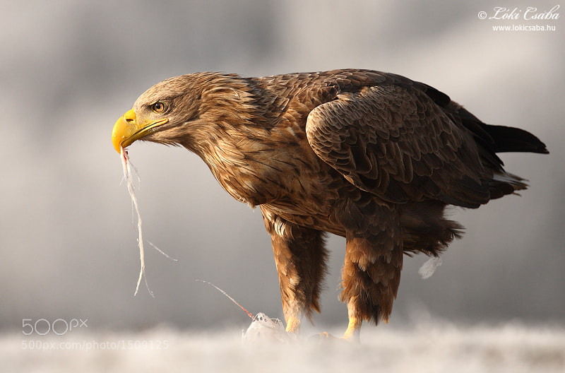 Photograph White-tailed Eagle by Csaba Loki on 500px