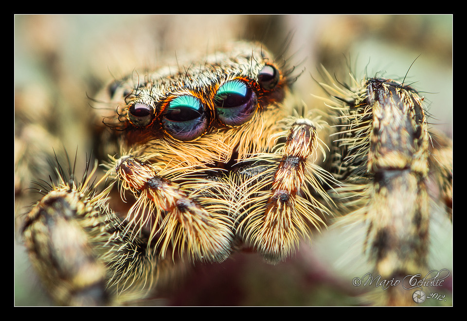 Photograph Marpissa muscosa female jumping spider by Mario Čehulić on 500px