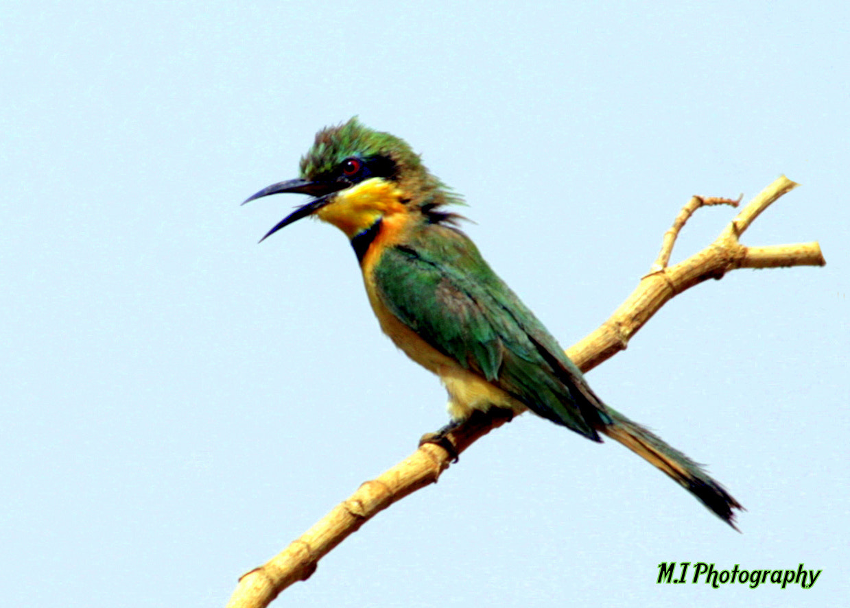Photograph Bee Eater by Mohamed Ismael on 500px