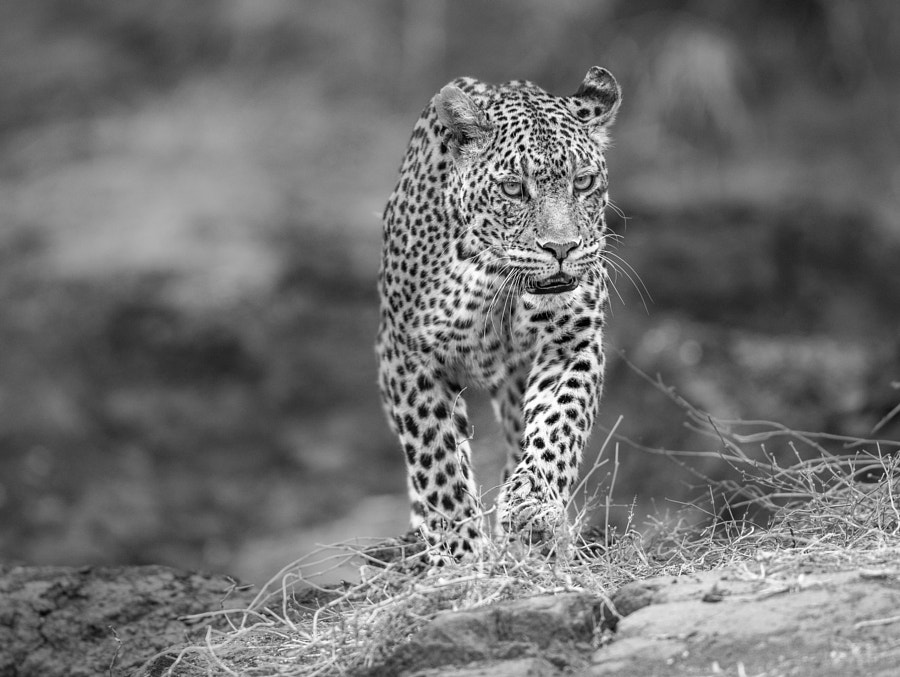 Stare down by Jaco Marx on 500px.com
