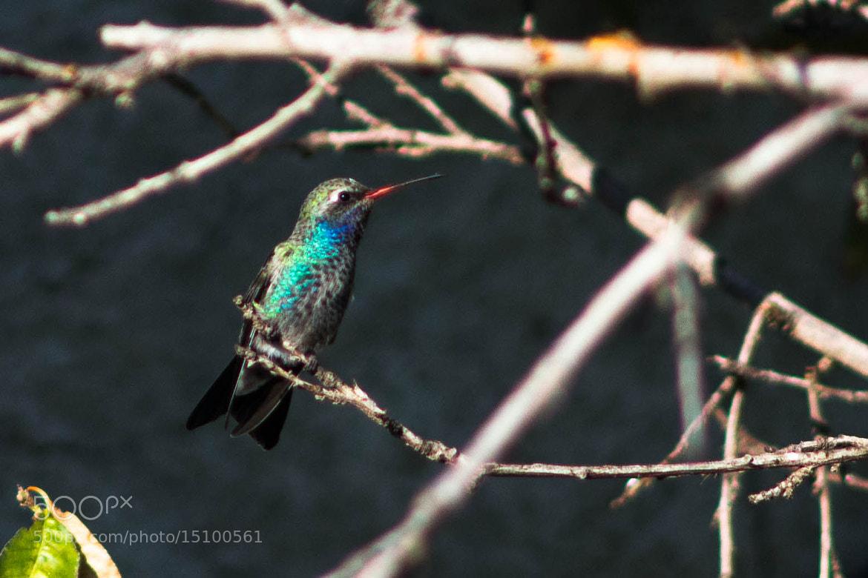 Photograph Hummingbird by elizabeth ramos on 500px
