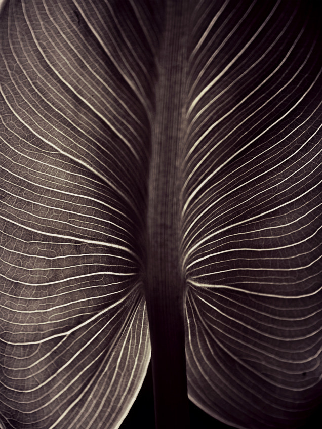 Photograph Backlight leaf monochrome by Diana  Duque  on 500px