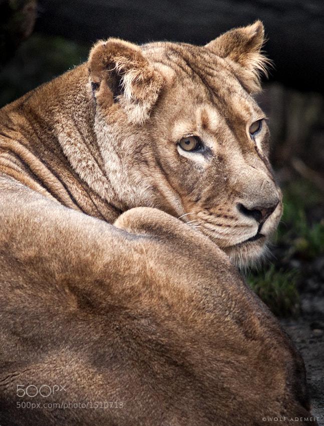 20 lioness