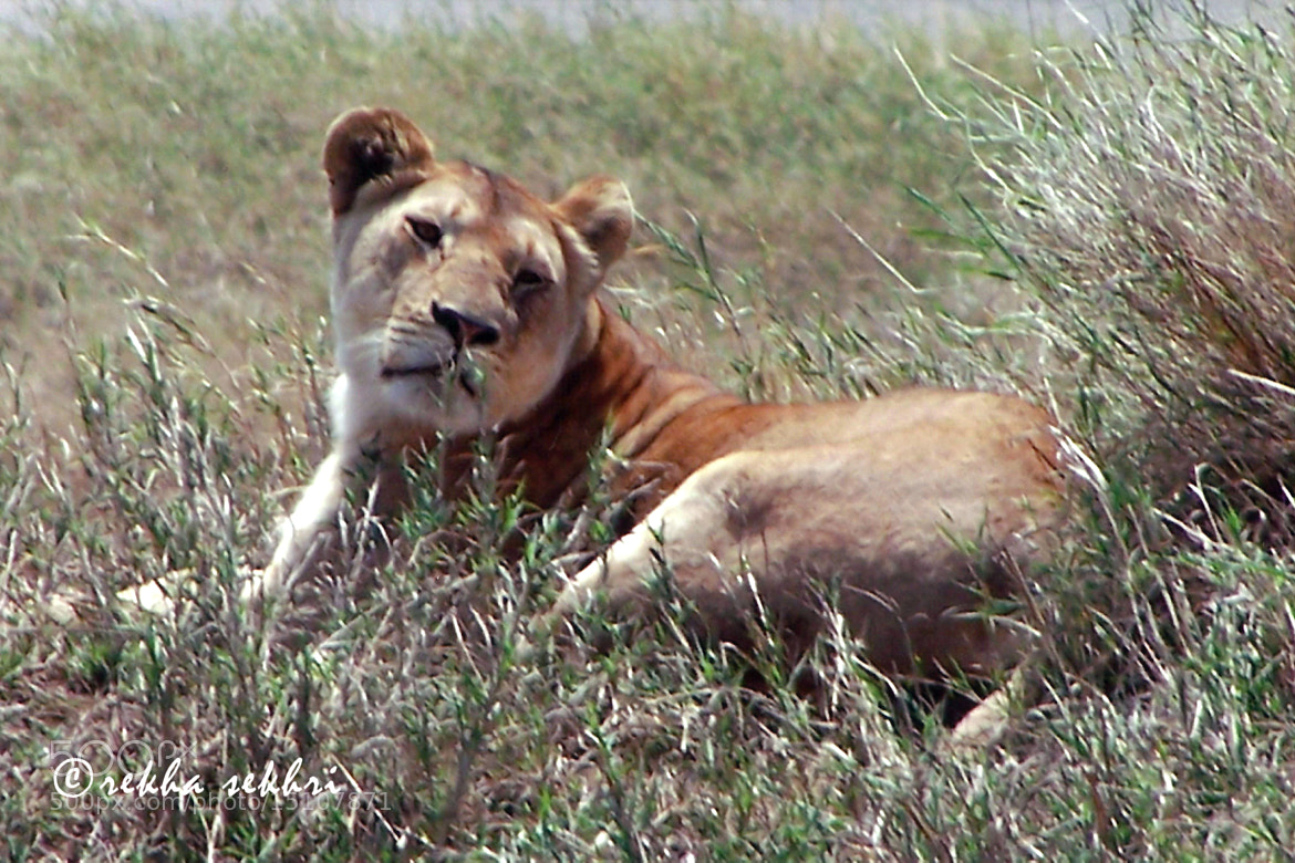 Photograph Lioness in the grass by Rekha Sekhri on 500px