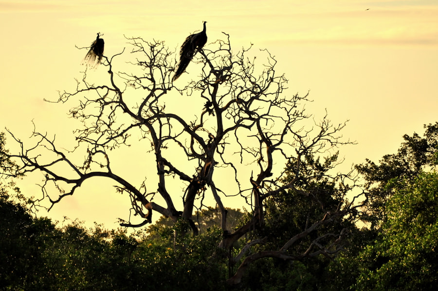 Sri Lanka has many Nature Parks to explore and watch wild life in such amazing environment. This picture was taken at Kaudulla National Park at sunrise. A couple of peacock singing to the rising sun...