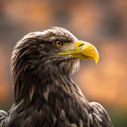 Eagle of Steller
