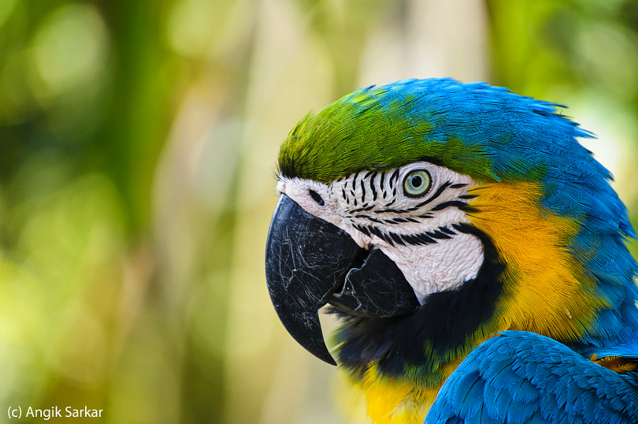 Portrait of a Macaw by Angik Sarkar on 500px.com
