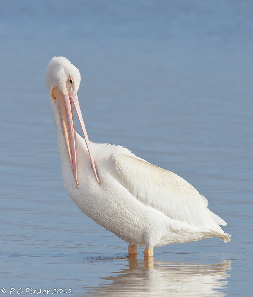 Photograph White pelican preening by Pete  Pieslor on 500px