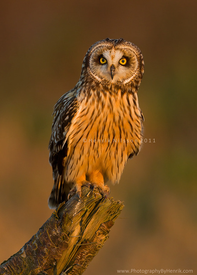 Photograph An Owl With Short Ears by Henrik Nilsson on 500px