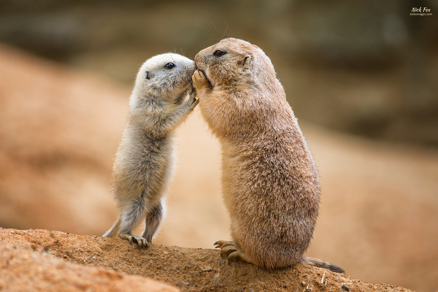 Prairie dogs sharing by Nick Fox on 500px.com