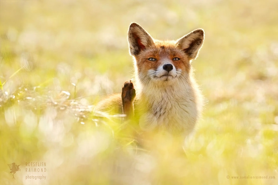 Funny Fox by Roeselien Raimond on 500px.com