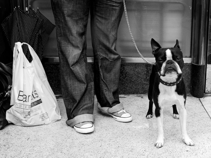 Photograph Boston Terrier in York by Chris Mathews on 500px