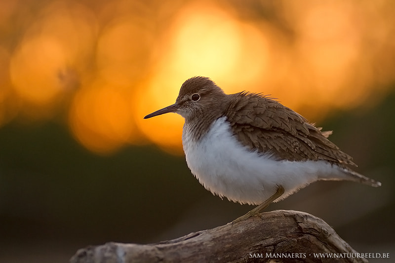 Photograph Sunset behind Common Sandpiper by Sam Mannaerts on 500px
