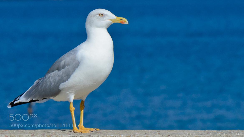 Photograph Yellow-legged Gull by Sergey Kukuev on 500px