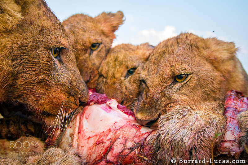 Photograph Feeding Lions by Will Burrard-Lucas on 500px