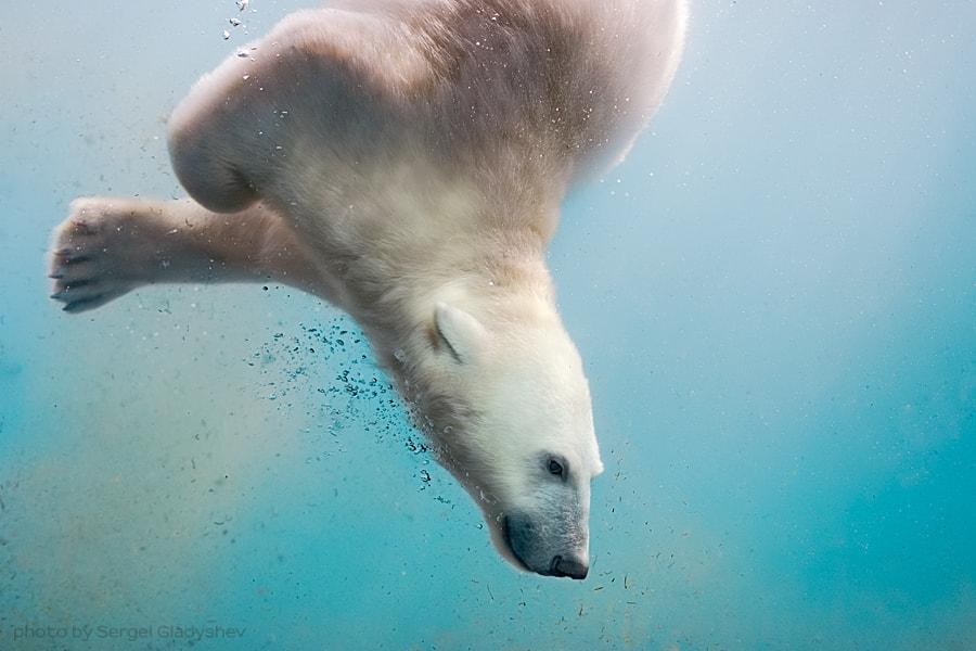 Bear-seal by sergei gladyshev on 500px.com