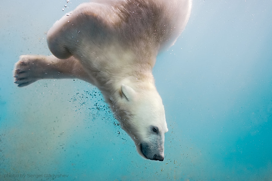 Bear-seal by sergei gladyshev on 500px.com