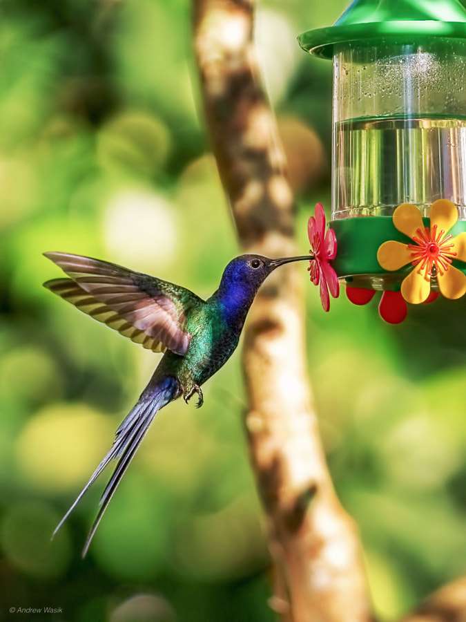 humming bird Sao Paolo by Andrew  Wasik on 500px.com