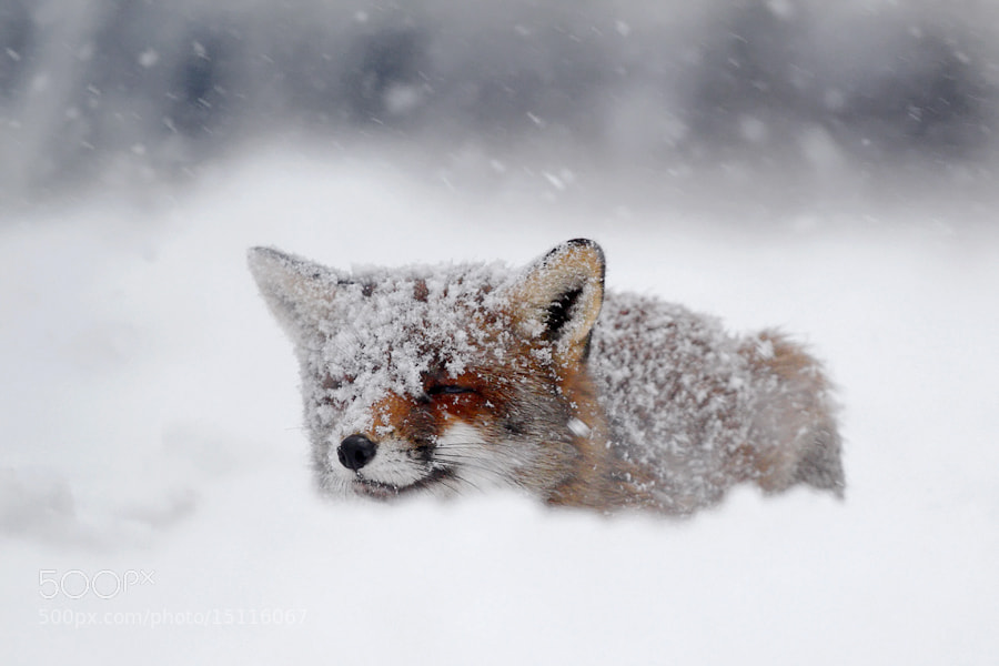 Photograph FrozenFox -votes plz by Roeselien Raimond on 500px