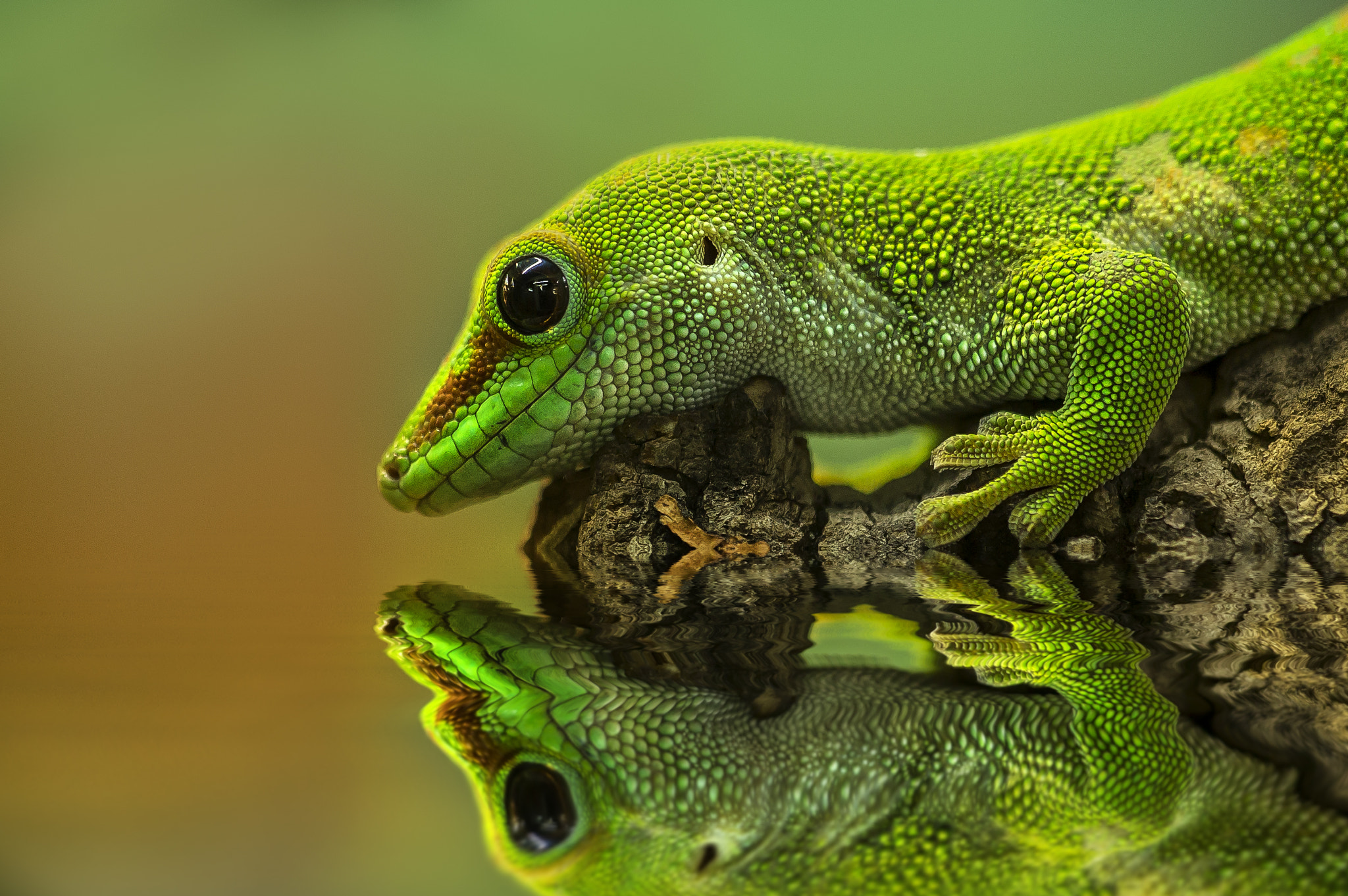 Photograph gecko (reflections no. 1) by Detlef Knapp on 500px