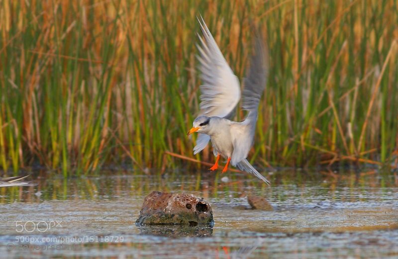 Photograph The Indian River Tern by zahoor salmi on 500px