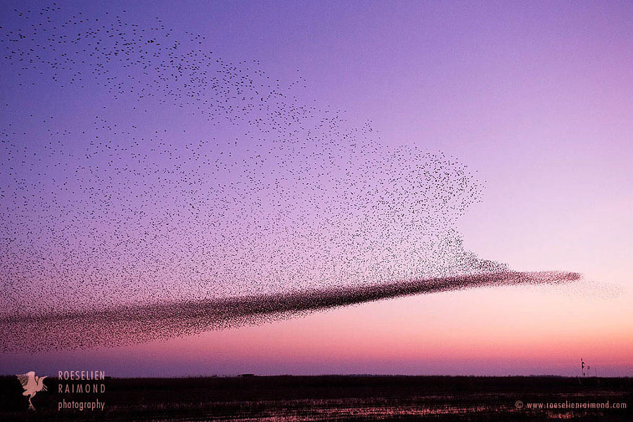 starling murmuration by Roeselien Raimond on 500px.com