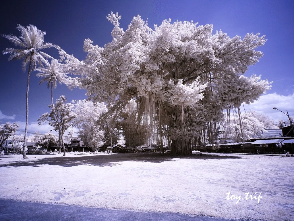 Photograph Big Banyan Tree by Toy Trip on 500px