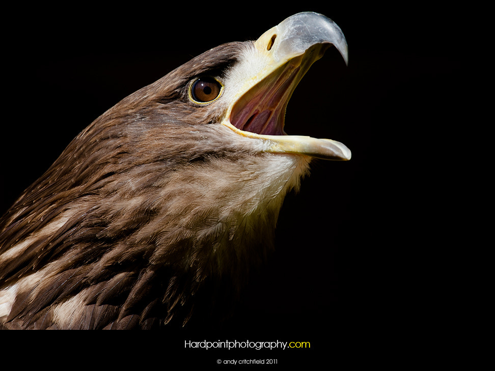 Photograph Golden Eagle by Hardpoint Photography on 500px