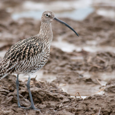 Numenius arquata - Curlew, Sony DSLR-A700, Tamron SP AF 200-500mm F5.0-6.3 Di LD IF