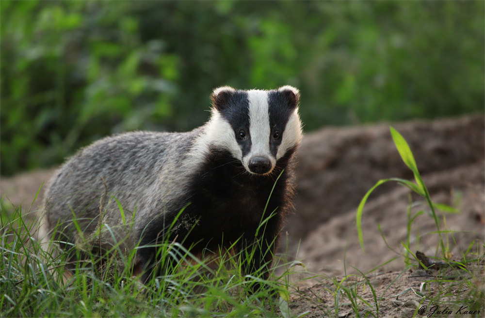 Photograph The Badger by Julia Kauer on 500px
