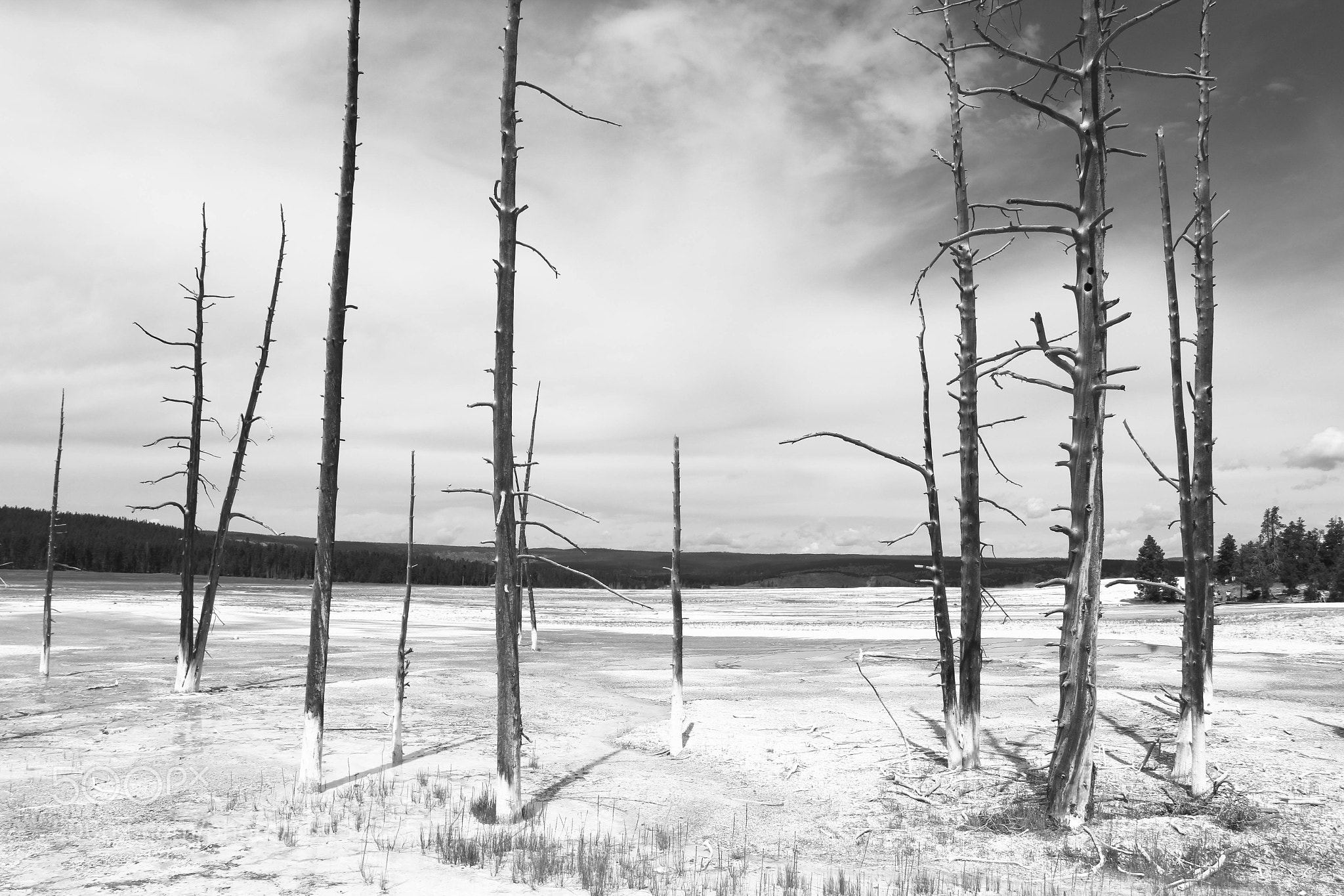 Dead white-bark pine trees in Yellowstone