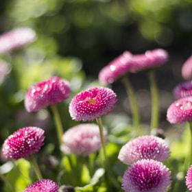 Glittering daisies