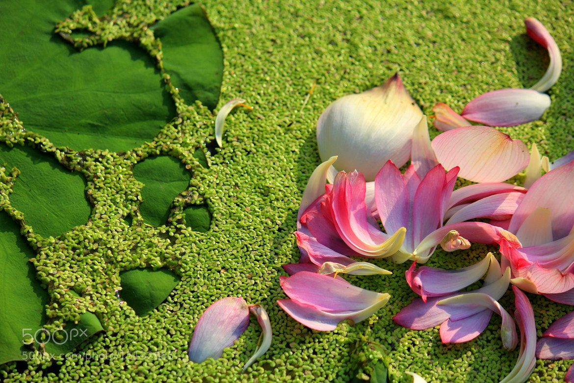 Photograph Broken Lotus by 翊翔 黃 on 500px