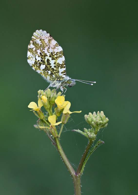 Photograph Roosting Orange Tip by Lea Roberts on 500px