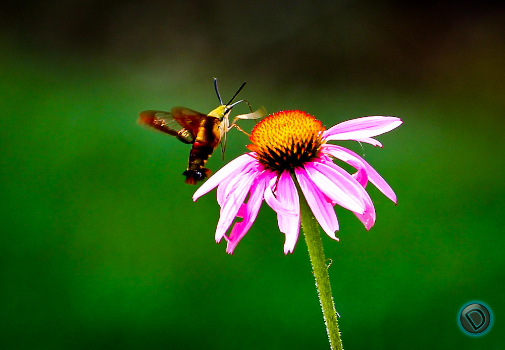 Photograph Hummingbird Moth by Drew Smith on 500px