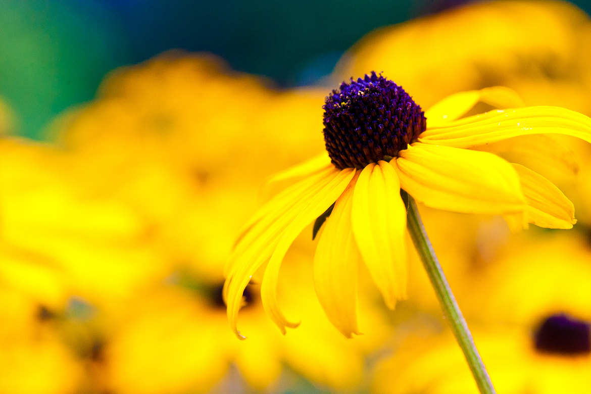 Photograph Sea of yellow by Mark Coffman on 500px