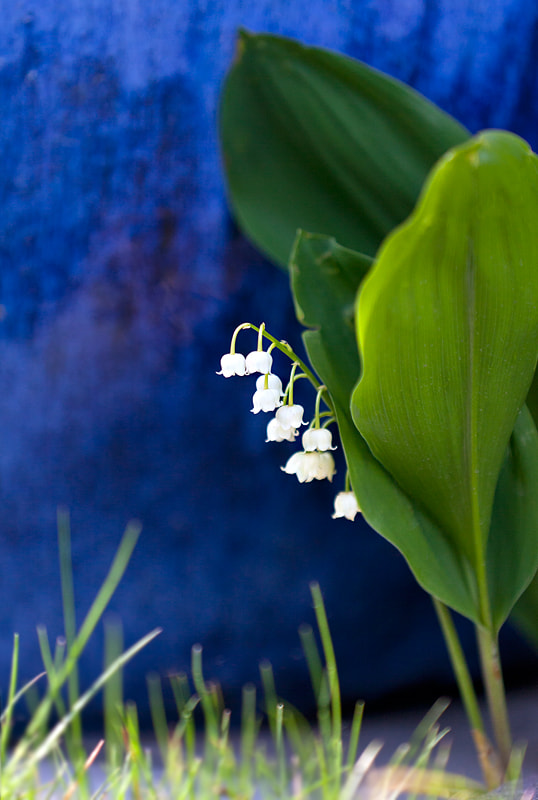 Photograph Lilly of the Valley by Paul Willis on 500px