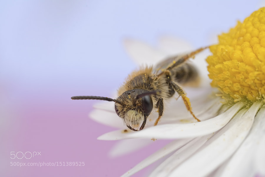Bee walking on Daisy
