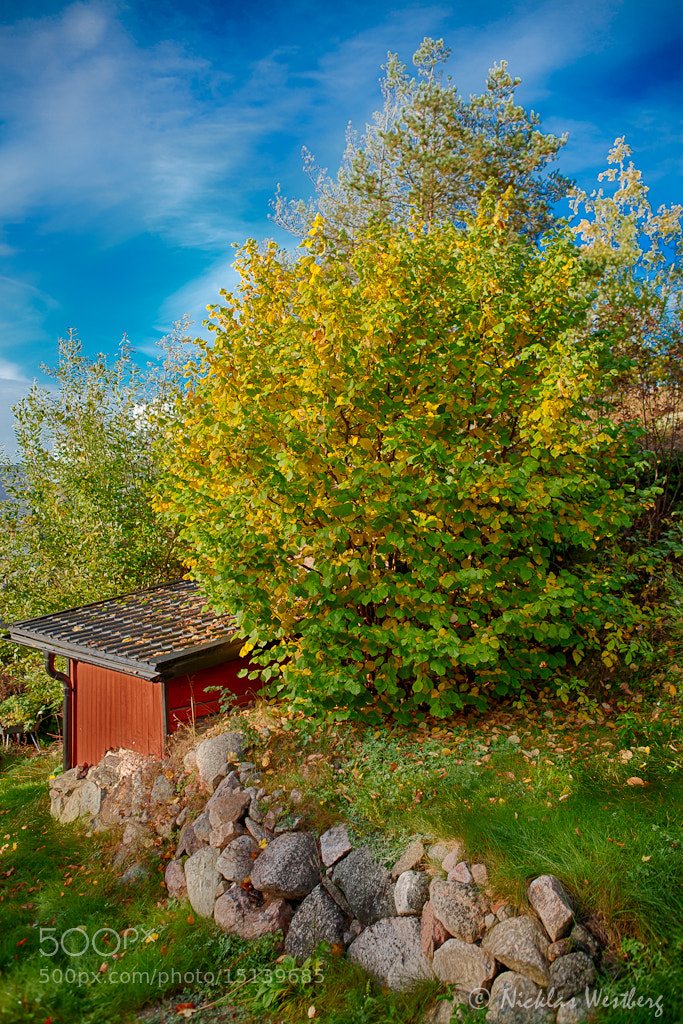 Photograph Golden leafs by Nicklas Westberg on 500px