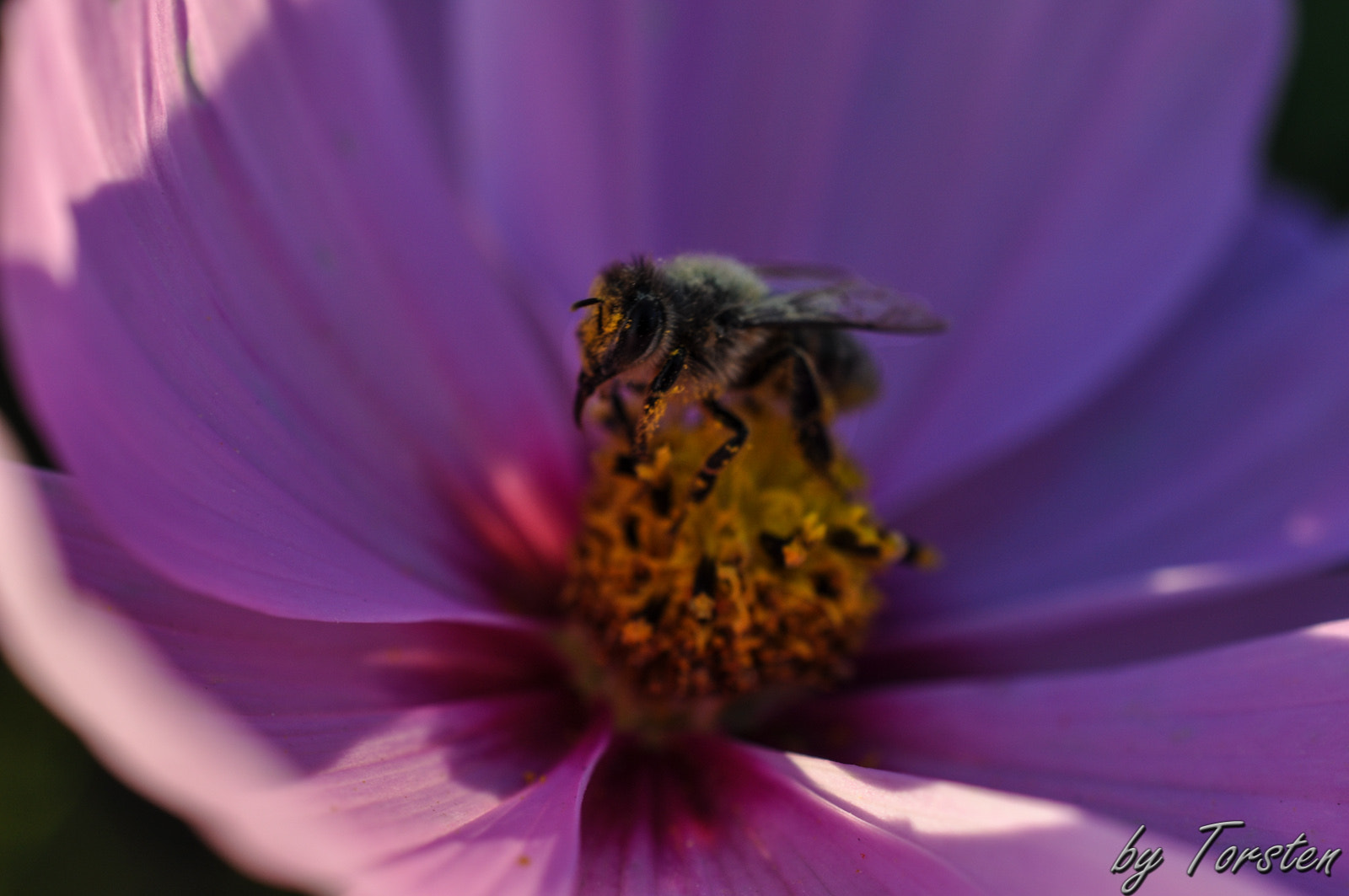 Photograph Bee@work by Torsten Trunz on 500px