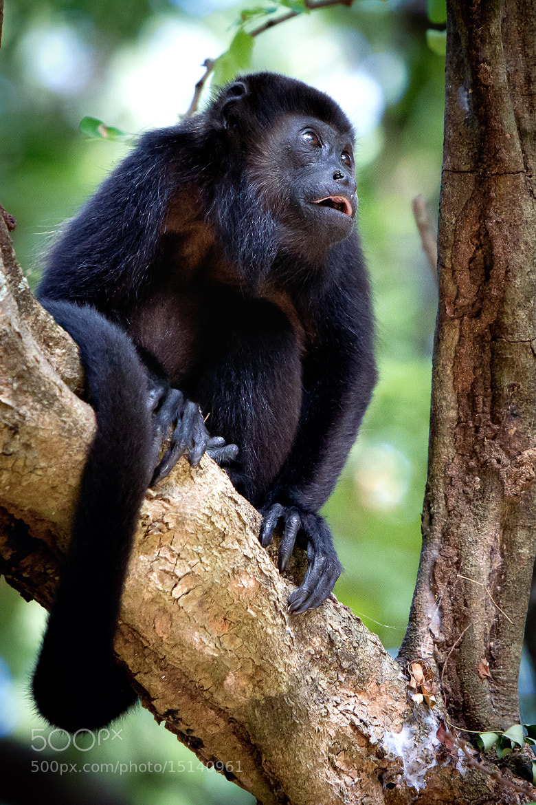 Photograph Howler Monkey by Steve Ghayouri on 500px