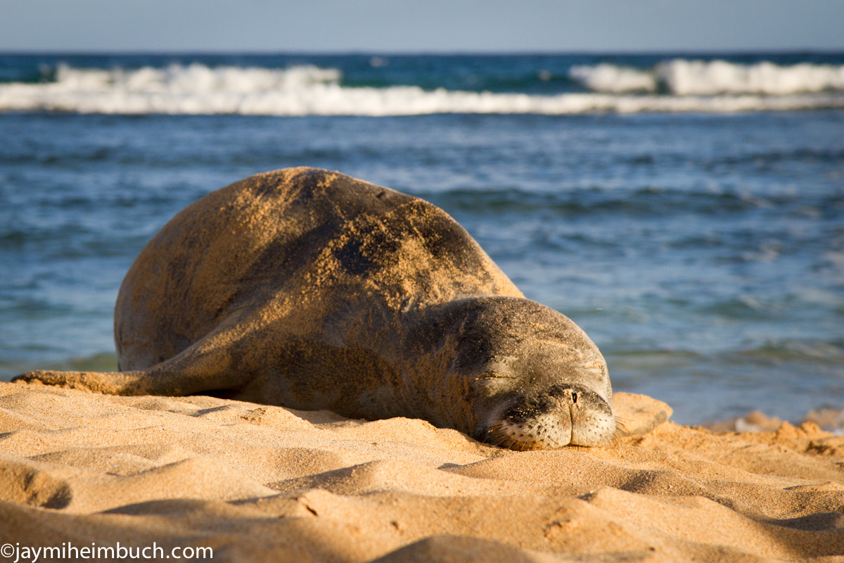 Photograph Hawaiian Monk Seal Snoozefest by Jaymi Heimbuch on 500px
