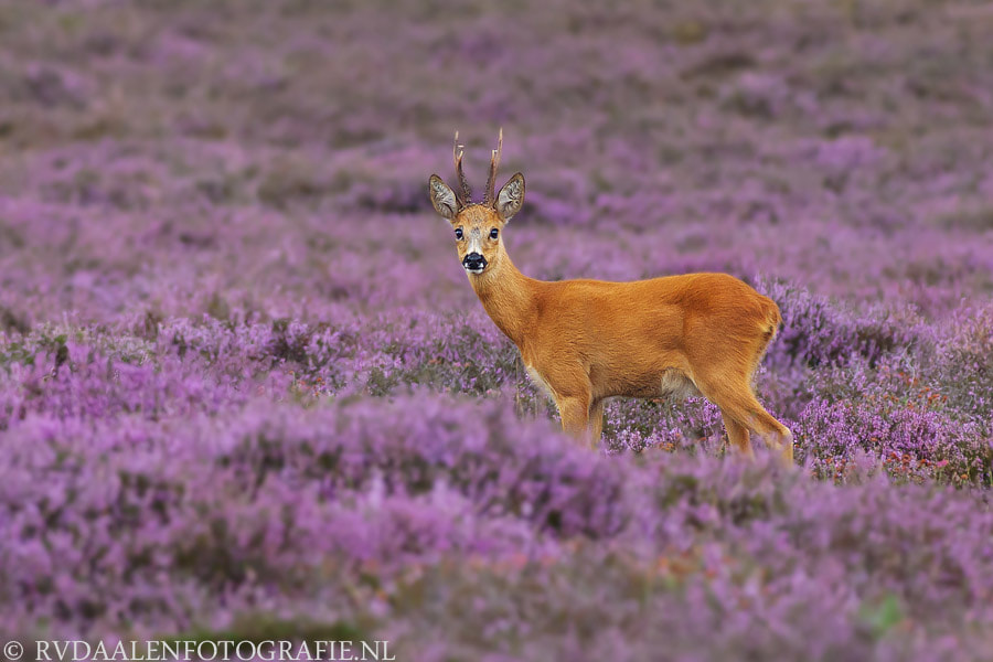 Photograph Roe deer in purple heath by Remco van Daalen on 500px