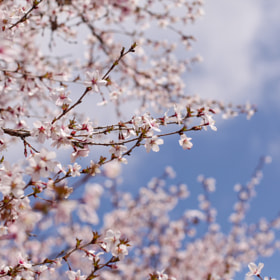 The beautiful of cherry blossom