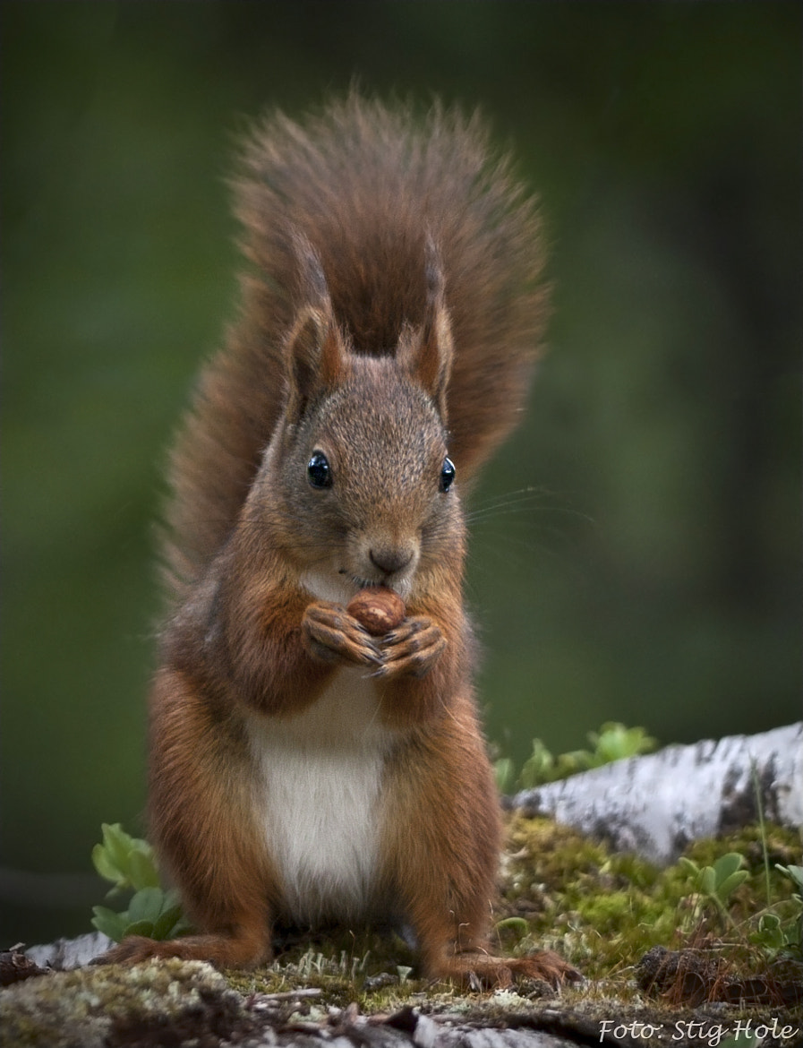 Photograph The Squirrel by Stig Hole on 500px