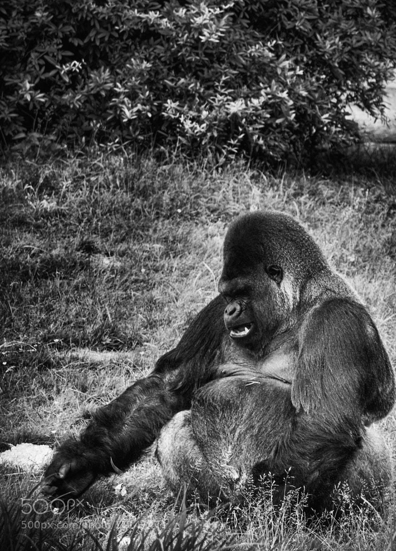 Photograph Lowland Gorilla by David Vercruysse on 500px