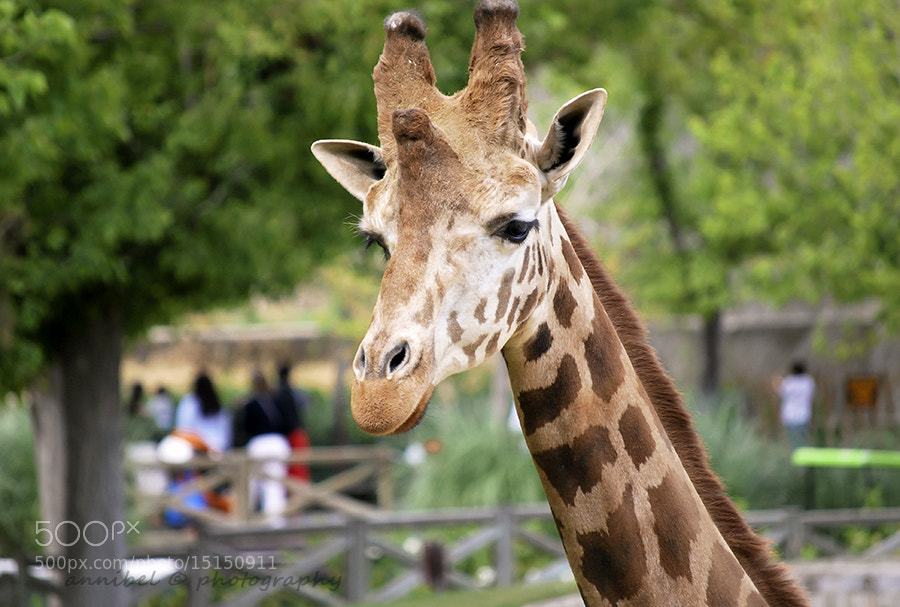 Photograph Giraffe... by annibel  photography on 500px